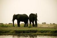011Chobe NP Elefanten