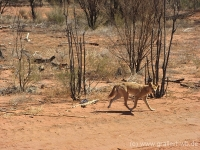 21Alice Dingo